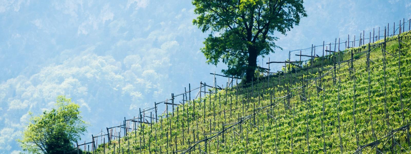 Weinberg an der Südtiroler Weinstraße