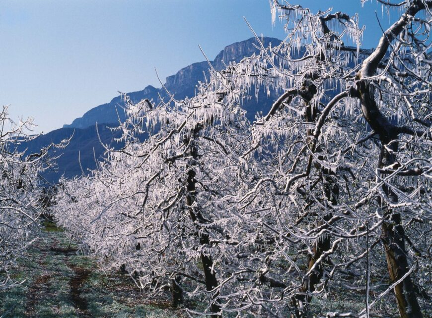 Frost Apfelbaeume